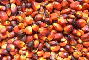 Palm nuts. (Image source: Jukwa Village & Palm Oil Production, Ghana).